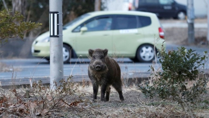 FILE: A wild boar is seen at a residential area in an evacuation zone.