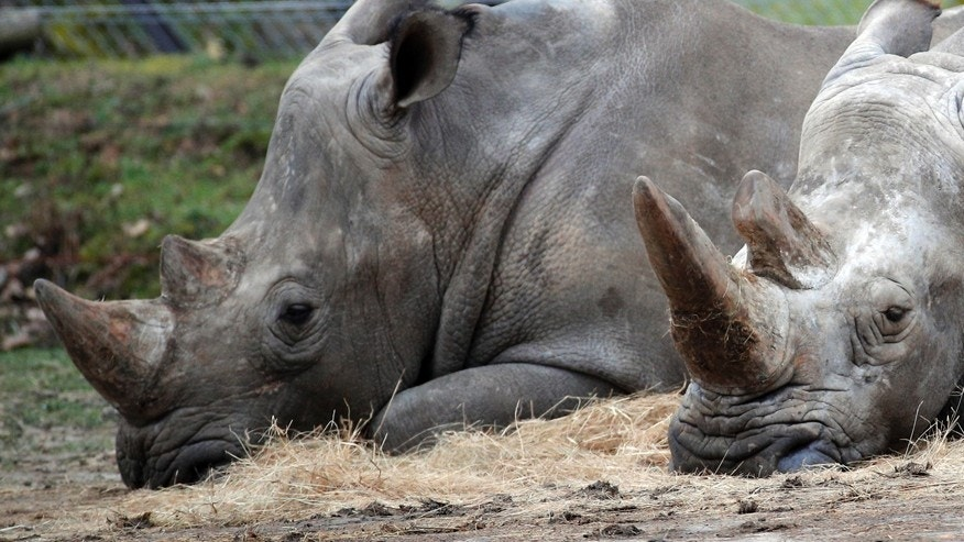Bruno, left, and Gracie, two rhinoceroses, rest at the Thoiry Zoo, near Paris, France.