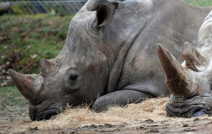 Bruno, left, and Gracie two rhinoceroses rest at the Thoiry Zoo, near Paris, France, Wednesday, March 8, 2017, the zoo where a rhinoceros named Vince was killed and one of it's horns removed using a chain saw. A zoo director says a 5-year-old rhinoceros at the wildlife park he runs near Paris, had been shot three times in the head by assailants who stole the animal's horn, it's carcass being found Tuesday. (AP Photo/Christophe Ena)