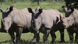In this Wednesday, March 8, 2017 photo, three rhinos line up at the Welgevonden Game Reserve in the Limpopo province, South Africa. South Africa's government is moving ahead with plans to allow a domestic trade and limited export of rhino horns, alarming many international conservationists who believe rhinos will be more vulnerable to poachers who have killed record numbers in the past decade. (AP Photo/Renee Graham)