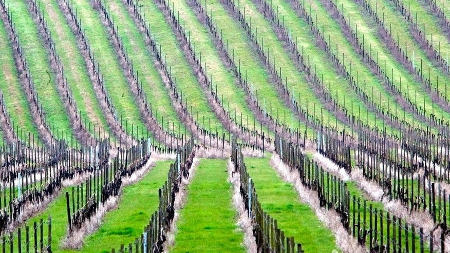 FILE- In this Wednesday April 21, 2004 file photo, rows of grape vines cover the valley and hillsides at Denbies Wine Estate in Dorking on the outskirts of London. A lawmaker says, Tuesday, March 14, 2017, diplomats should boost the U.K. economy after Brexit by ditching champagne, cava and prosecco in favor of British bubbly at embassy receptions. (AP Photo/Dave Caulkin, File)