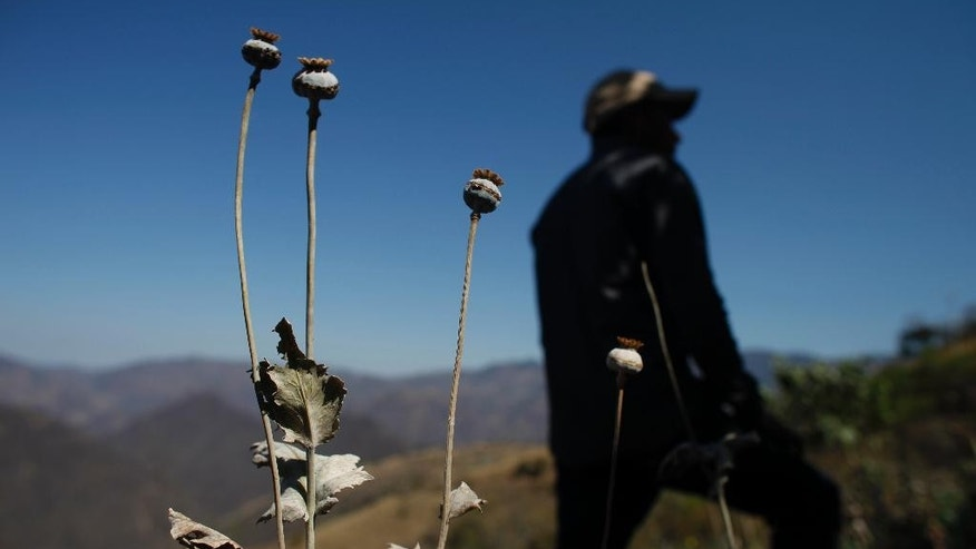 FILE - In this Jan. 27, 2015 file photo, a man stands in a poppy flower field that the government sprayed with an herbicide in the Sierra Madre del Sur mountains of Guerrero state, Mexico. A Mexican army general said Wednesday, March 15, 2017, his forces are increasingly coming under fire from drug traffickers protecting opium poppy plantations in Oaxaca state, where opium growers are moving production to take advantage of mountainous terrain and impoverished villages. (AP Photo/Dario Lopez-Mills, File)