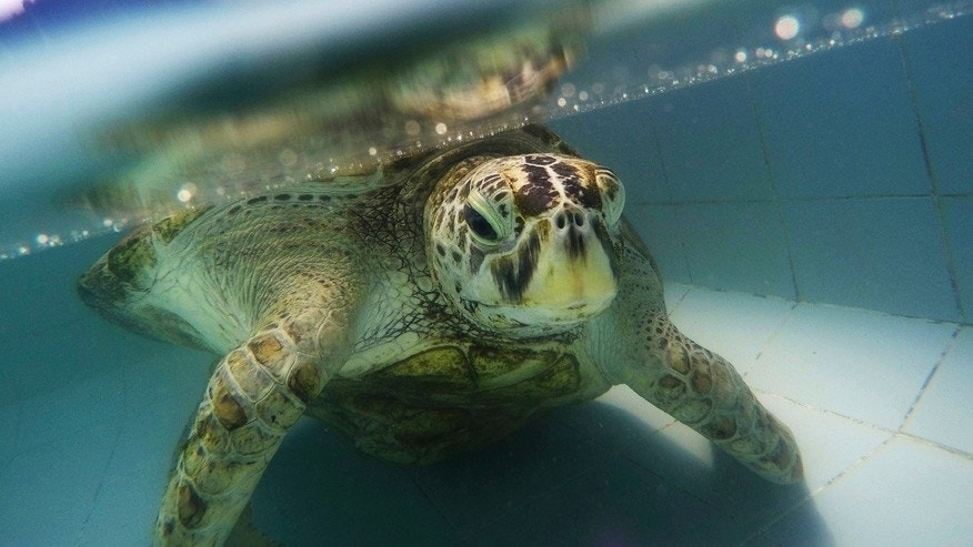 "March 3, 2017: A female green green turtle nicknamed ""Bank"" swims in a pool at Sea Turtle Conservation Center in Chonburi Province, Thailand."