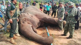 In this Tuesday, March 21, 2017 photo provided by Wildlife Alliance, Cambodian soldiers stand next to a dead wild elephant in the jungle near Cardamom National Park of Kampong Speu province in western of Phnom Penh, Cambodia.  A park ranger in Cambodia said an endangered wild elephant has died after an electrical pole fell and sent a powerful current surging through the animal. (Wildlife Alliance via AP)