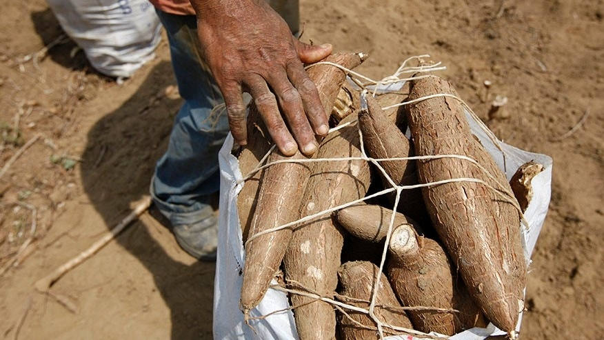 "A farm worker collects cassava at expropriated farm ""El Charcote"" in central Venezuela."