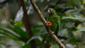 In this undated 2014 photo provided by Puerto Rico's Department of Natural Resources shows a breeding endangered Puerto Rican parrot near the Rio Abajo Nature Preserve, in Puerto Rico. The parrot  who is wearing a tag is one of a pair of birds that had been reintroduced into the wild by scientists. Officials say that two endangered Puerto Rican parrots where born from the introduced breeding pair and are the first ones born in the wild outside a national forest, in a natural nest, for the first time in 144 years. (AP Photo/DRNA, Tanya Martínez)