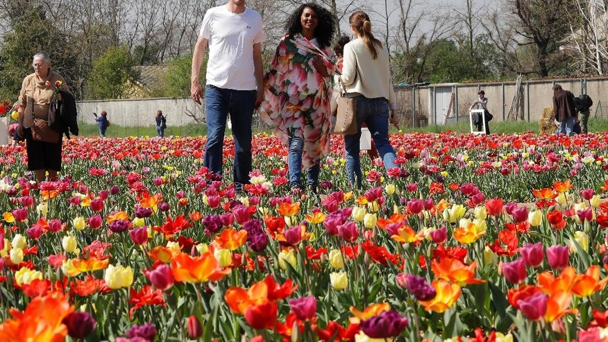 Dutch couple Edwin Koeman and Nitsuje Wolanios walk through the first Italian tulip field they planted to recreate the tradition in the Netherlands where you can pick your own tulip, in Cornaredo, near Milan, Italy, Wednesday, March 29, 2017. The Dutch couple planted 250000 tulips of 183 different varieties in a field outside Milan which opened on March 28 and will remain open for three or four weeks, depending on the blooming time of the tulips. (AP Photo/Antonio Calanni)