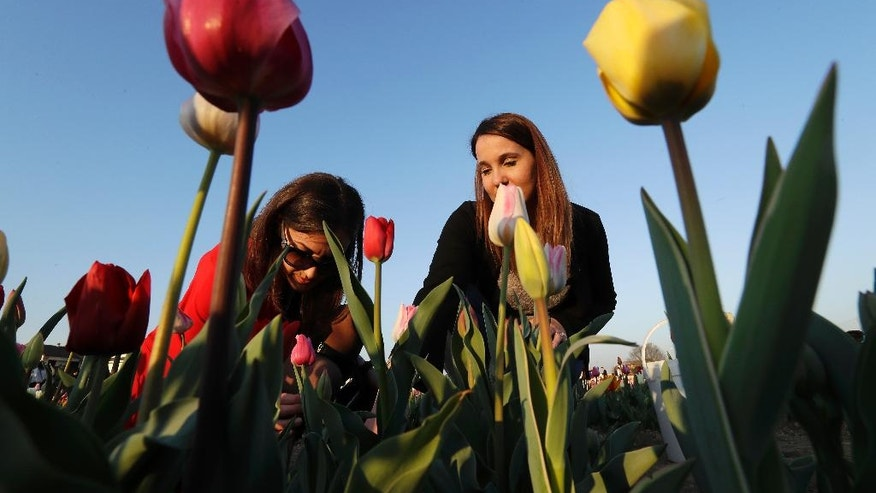 Visitors pick tulip flowers in the first Italian tulip field, planted by a Dutch couple to recreate the tradition in the Netherlands where you can pick your own tulip, in Cornaredo, near Milan, Italy, Wednesday, March 29, 2017. Dutch couple Edwin Koeman, and Nitsuje Wolanios planted 250000 tulips of 183 different varieties in a field outside Milan which opened on March 28 and will remain open for three or four weeks, depending on the blooming time of the tulips. (AP Photo/Antonio Calanni)