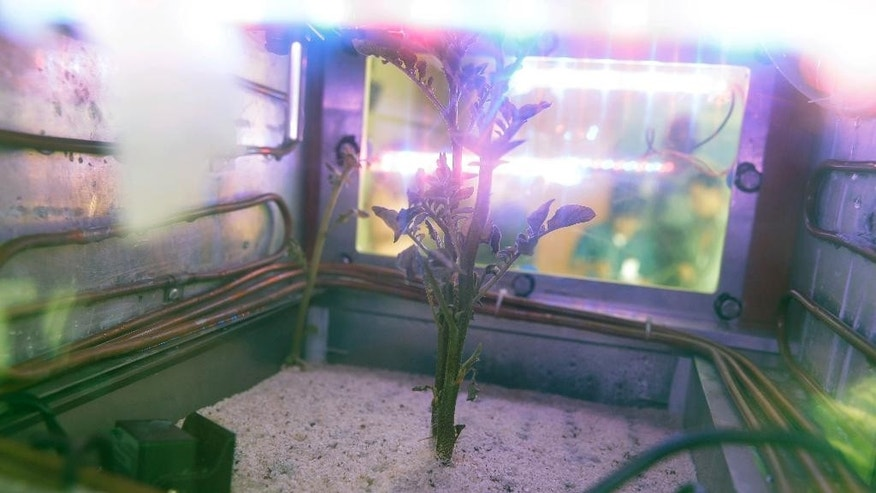 In this March 16, 2017 photo, a potato plant grows inside a Mars simulator in Lima, Peru.  The simulator mimicks the harsh conditions found on Mars. (AP Photo/Martin Mejia)