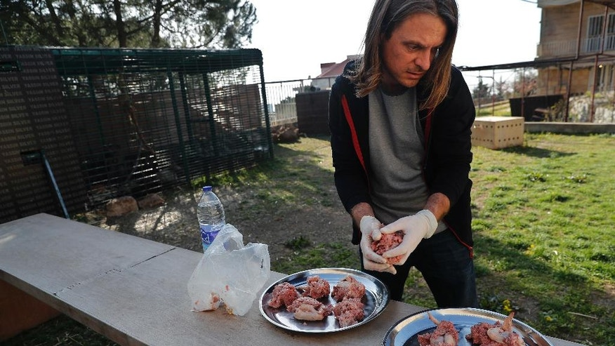 In this Wednesday March 29, 2017 photo, Jason Mier, Executive Director of Animals Lebanon, an animal rights group, prepares food for three Siberian tigers that were destined for a zoo in war-torn Syria, and rescued by Animals Lebanon, in Aley, east of Beirut, Lebanon. The tiger cubs, which were being transported from Ukraine, were trapped in an unmarked maggot-infested crate in Beirut's airport for almost a week, where they could not stand or move and were forced to urinate and defecate on each other, according to Animals Lebanon. (AP Photo/Hussein Malla)