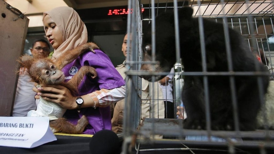 An official holds a baby orangutan in front of an infant sun bear sitting in a cage as the animals are shown during a press conference at Jakarta police headquarters in Jakarta, Indonesia, Tuesday, April 4, 2017. Indonesian police say they saved an infant sun bear, a clouded leopard and a baby orangutan from the wildlife trade after a tip from conservationists who tracked the illegal activities through Instagram. Jakarta police spokesman Prabowo Argo Yuwono said Abdul Malik was arrested Tuesday in a raid on his southern Jakarta house where the animals were found caged. (AP Photo/Achmad Ibrahim)
