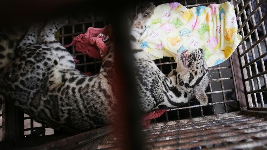 A clouded leopard sleeps in a cage during a press conference at Jakarta police headquarters in Jakarta, Indonesia, Tuesday, April 4, 2017. Indonesian police say they saved an infant sun bear, a clouded leopard and a baby orangutan from the wildlife trade after a tip from conservationists who tracked the illegal activities through Instagram. Jakarta police spokesman Prabowo Argo Yuwono said Abdul Malik was arrested Tuesday in a raid on his southern Jakarta house where the animals were found caged. (AP Photo/Achmad Ibrahim)