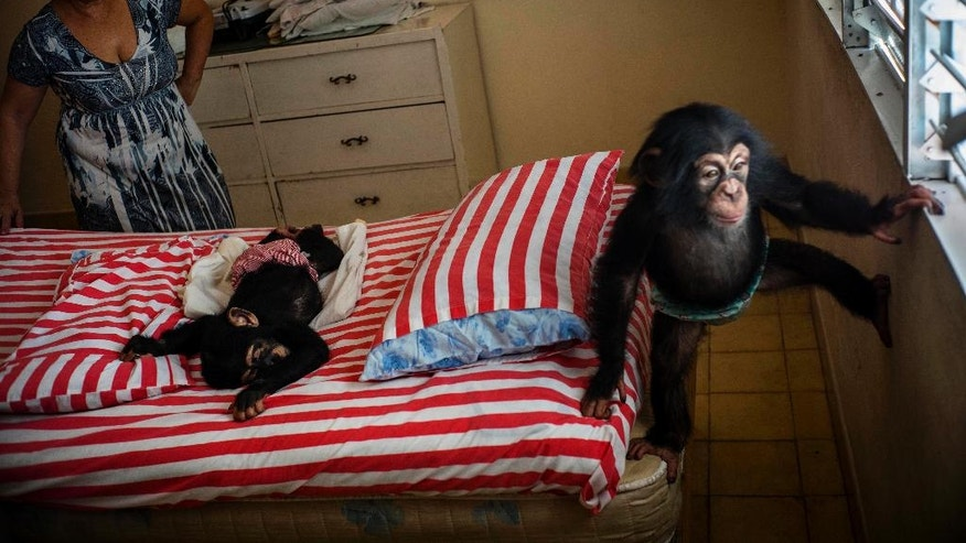 Llanes looks at baby chimpanzee Ada, while Anuma II sleeps on a bed at her apartment in Havana, Cuba.