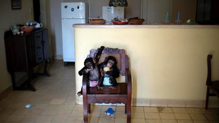 Baby chimpanzee Anuma II, left, and Ada rest in a chair at zoologist Martha Llanes' apartment in Havana, Cuba.