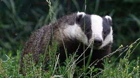 A badger looks for food at the British Wildlife Centre in Lingfield, southern England July 21, 2011. Environmental groups, including the Royal Society for the Prevention of Cruelty to Animals (RSPCA), have voiced their opposition to plans by Britain's government to begin culling wild badgers in order to combat bovine tuberculosis in England's cattle herds.