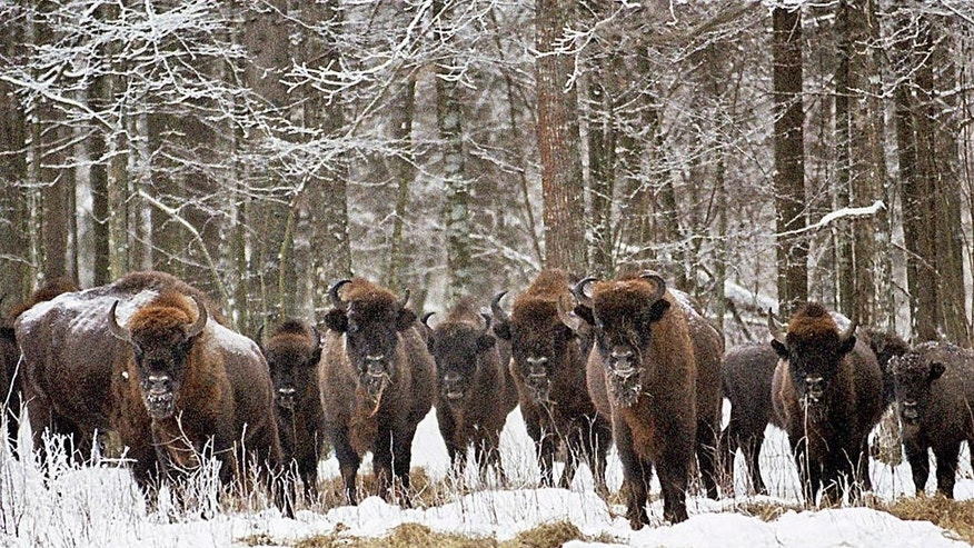 FILE - In this Feb. 2005 file photo, a herd of bison, Europe's largest land mammal, gather in the centuries-old Bialowieza Forest in Poland, Europe's last primeval forest that is on the UNESCO World Heritage list. The European Union asked Poland on Thursday, April 27, 2017, to stop massive logging in one of Europe's last remaining primeval forests, warning it might take Poland to the European Court of Justice if it doesn't reverse course. (AP Photo/Michal Kosc, File) POLAND OUT