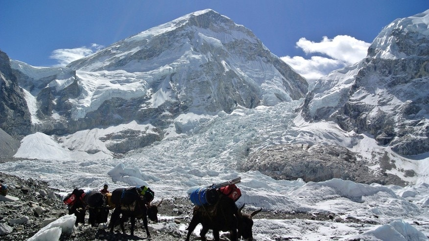 April 27, 2014: Yaks carrying mountaineering equipments return to Mount Everest base camp.