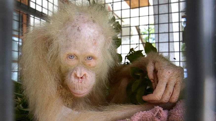 In this undated photo released by Borneo Orangutan Survival Foundation (BOSF), an albino orangutan sits in a cage as it's being quarantined at a rehabilitation center in Nyaru Menteng, Central Kalimantan, Indonesia. The conservation group is asking the public to suggest names for the rare albino orangutan that was rescued from villagers in the Indonesian part of Borneo last month, hoping it will become an inspiring symbol of efforts to save the critically endangered species. (Indrayana/BOSF via AP)