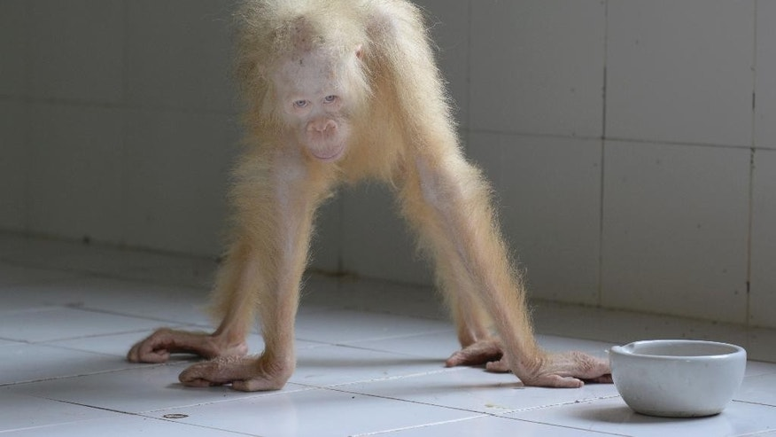 In this May 2, 2017 photo released by Borneo Orangutan Survival Foundation (BOSF), an albino orangutan stands in an enclosure at a rehabilitation center in Nyaru Menteng, Central Kalimantan, Indonesia. The conservation group is asking the public to suggest names for the rare albino orangutan that was rescued from villagers in the Indonesian part of Borneo last month, hoping it will become an inspiring symbol of efforts to save the critically endangered species. (Indrayana/BOSF via AP)