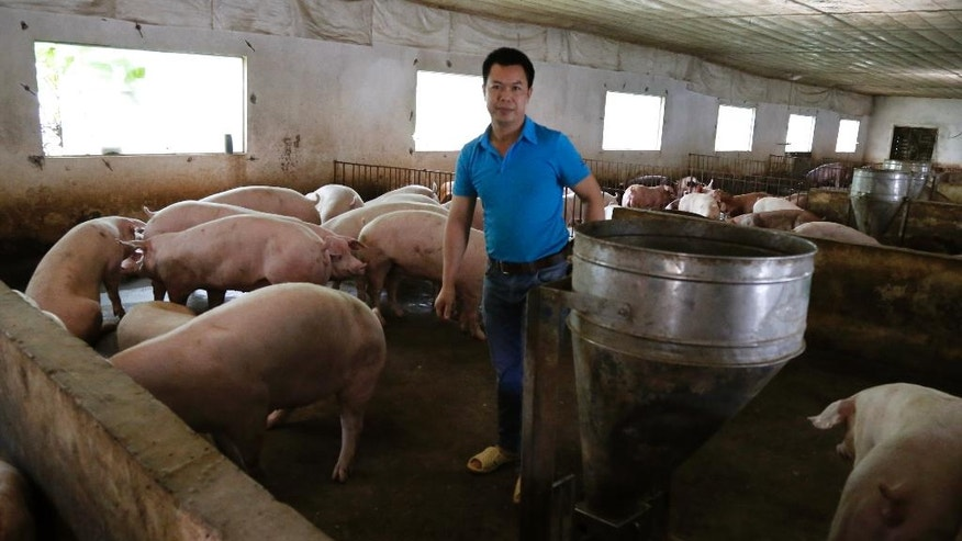 "In this Friday, May 5, 2017 photo, pig farmer Do Huu Thuyen feeds his herd at his farm in Xuan Son village, about 55 kilometers (34 miles) northwest of Hanoi, Vietnam. Vietnam is putting pork at the top of menus and promising other help for farmers stricken by a glut and plunging prices. Millions of pig farmers are struggling after China began blocking imports from Vietnam. In six months he lost 2 billion dong ($88,000) or 10 years' worth of savings, he says. ""I could go bankrupt, if the price stays the same,"" Thuyen said. (AP Photo/Tran Van Minh)"