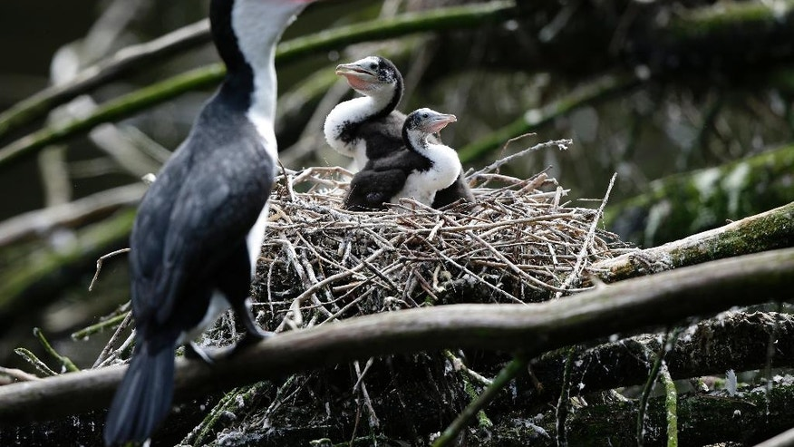 In this March 22, 2017 photo, two shag chicks sit on a nest with their mother at Zealandia in Wellington, New Zealand. People across New Zealand are embracing an environmental goal so ambitious it's been compared to putting a man on the moon: ridding the entire nation of every last rat, opossum and stoat. The idea is to give a second chance to the unusual birds that ruled this South Pacific nation before humans arrived 800 years ago. (AP Photo/Mark Baker)