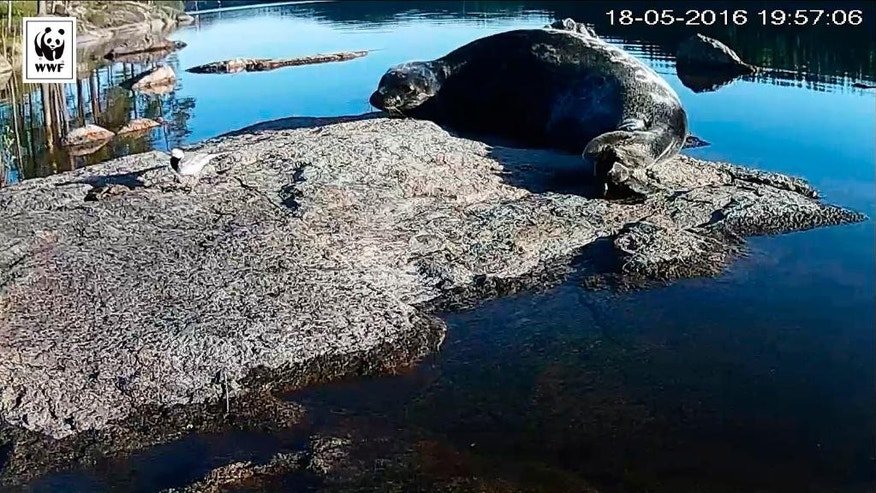 This is grab taken from a World Wildlife Fund Finland live stream  shows a Saimaa Ringed Seal resting on a rock in Lake Saimaa, Finland on  May  18,2016. Finland. Wildlife conservationists in Finland are giving endangered seals in Europe's fourth largest lake a spot of online fame _ they plan to stream encounters with some of the estimated 360 remaining seals in southeastern lake of Saimaa, in a bid to raise awareness of their plight.  (WWF Finland via AP)