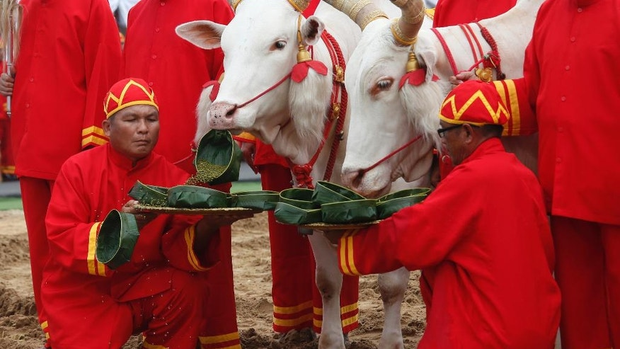 Oxen are presented with a tray of various choices of food by Thai officials in ancient attire during at the royal ploughing ceremony in Bangkok, Thailand, Friday, May 12, 2017. The annual event marks the beginning of the growing season in Thailand for rice. (AP Photo/Sakchai Lalit)