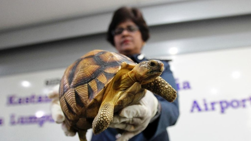A Malaysian Customs official hold seized Ploughshare tortoise after a press conference at Customs office in Sepang, Malaysia, Malaysia on Monday, May 15, 2017.  Malaysian authorities say they have seized 330 exotic tortoises from Madagascar worth 1.2 million ringgit ($276,721) in the latest heist of illegal wildlife and animal parts being smuggled into the country. (AP Photo/Daniel Chan)