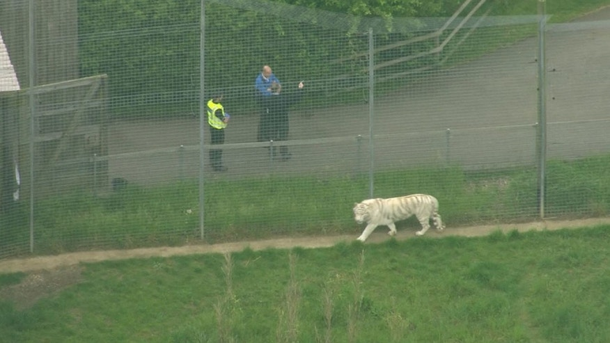 A female zookeeper has been killed by a tiger after it entered the enclosure she was in.