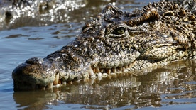 "A crocodile swims at a breeding center at ""La Boca"" in the Zapata Swamp Biosphere Reserve Park south of the Matanzas province in central Cuba September 17, 2009. The wetlands of Cuba represent about 4 percent of the island?s territory and include habitats with unique and ideal vegetation for numerous animals such as manatis, crocodiles, fish and turtles, many resident and migratory birds.  REUTERS/Desmond Boylan (CUBA ENVIRONMENT SOCIETY) - RTR27ZA4"