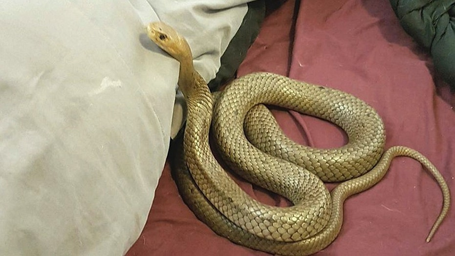 The eastern brown snake was found in the Australian couple's bed on Wednesday.