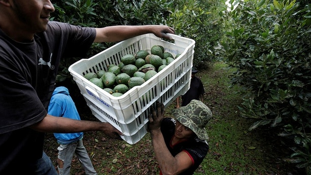 Farm workers load crates of freshly picked avocados into a truck at a plantation in Tacambaro, in Michoacan state, Mexico, June 7, 2017. Picture taken June 7, 2017. REUTERS/Alan Ortega - RC1EB7B2A420