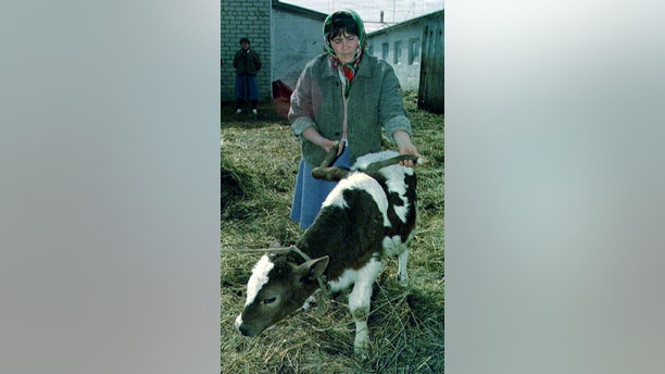A Ukrainian peasant with a 2-month-old mutant calf Borya showing its two additional legs with which it was born in a Ukrainian village of Alisovka near Kharkov April 20. Ukraine put a $4 billion price tag on shutting down the Chernobyl nuclear power station, and told the West to find the money if it wanted the stricken plant closed down. ? QUALITY DOCUMENT - PBEAHUNAUAF