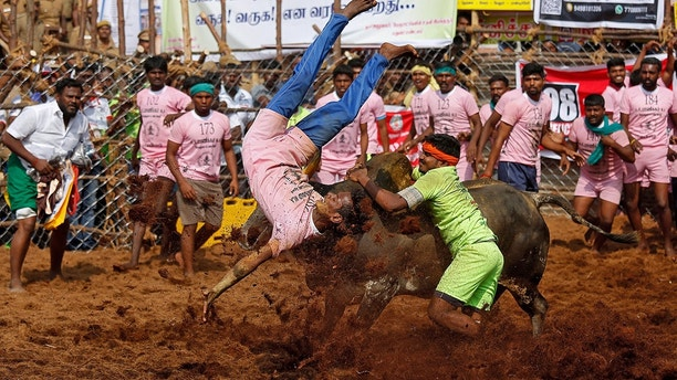 A villager is pinned down by a bull as another attempts to control him during the annual bull-taming festival called Jallikattu, which is part of south India's Pongal harvest festival of Pongal, on the outskirts of the southern city of Madurai, India, January 15, 2018. REUTERS/Abhishek N. Chinnappa - RC1BD66C2560