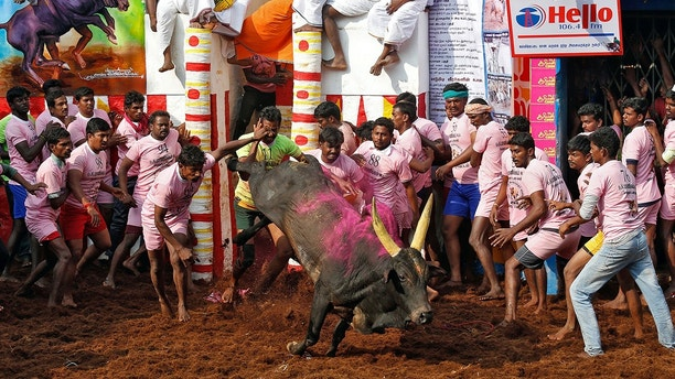 Villagers attempt to control a bull during the annual bull-taming festival called Jallikattu, which is part of south India's Pongal harvest festival, on the outskirts of the southern city of Madurai, India January 16, 2018. REUTERS/Abhishek Chinnappa - RC14F0C86E40