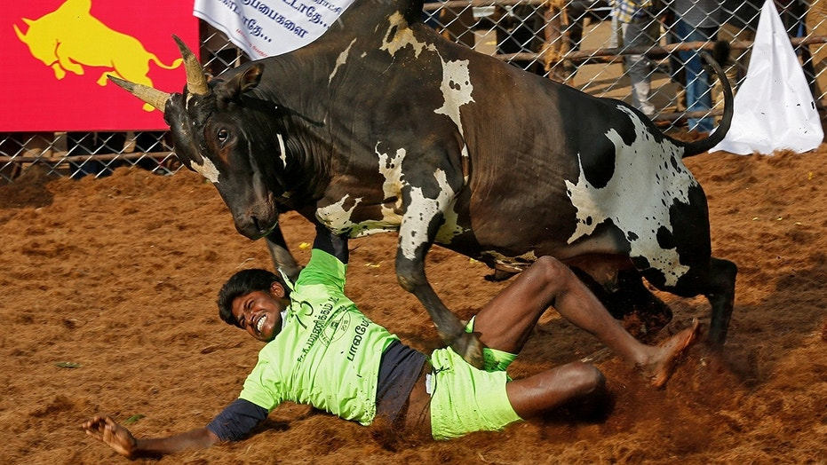 Unlike traditional bullfighting, the bull is not killed in Jallikattu. Instead, men try to dominate and tame the animal without using weapons.