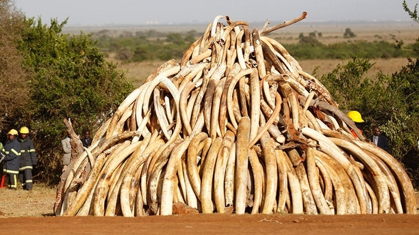 "A pile of 15 tonnes of ivory confiscated from smugglers and poachers is arranged before being burnt to mark World Wildlife Day at the Nairobi National Park March 3, 2015. The United Nations on December 20, 2013, declared 3rd March World Wildlife Day as a celebration of wild fauna and flora and to raise awareness of illegal trade. The 2015 theme for World Wildlife Day is ""Wildlife Crime is serious; let's get serious about wildlife crime"". REUTERS/Thomas Mukoya (KENYA - Tags: SOCIETY ANNIVERSARY ENVIRONMENT CRIME LAW POLITICS ANIMALS) - GM1EB34014S01"