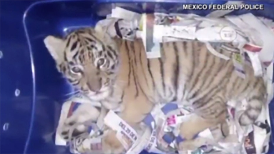 Mexican inspectors found a Bengal tiger cub in an express-mail package Wednesday.