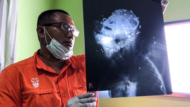 In this Tuesday, Feb. 6, 2018 photo released by Center for Orangutan Protection (COP), Principal of COP Hardi Baktiantoro holds an x-ray showing air rifle pellets lodged in the head and body of an orangutan during its surgery in East Kalimantan, Indonesia. A male orangutan on the Indonesian part of Borneo died after being shot at least 130 times with an air gun, the second known killing of a critically endangered orangutan this year. (Center for Orangutan Protection via AP)