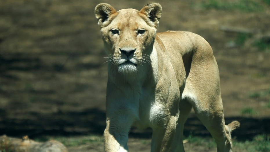 A 22-year-old woman died after she was brutally mauled by a female lion on Tuesday at a game lodge north of Pretoria in South Africa.