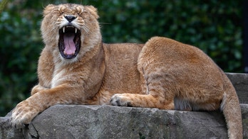 An Asian lion is yawning at the Planckendael Zoo in Mechelen, Belgium March 9, 2018. REUTERS/Yves Herman - RC143398A0A0