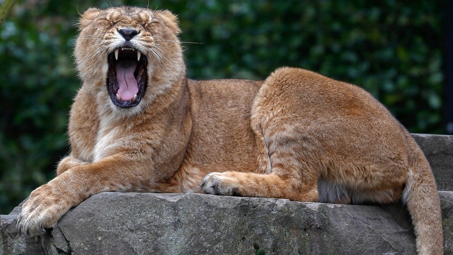 An Asian lion is yawning at the Planckendael Zoo in Mechelen, Belgium March 9, 2018.