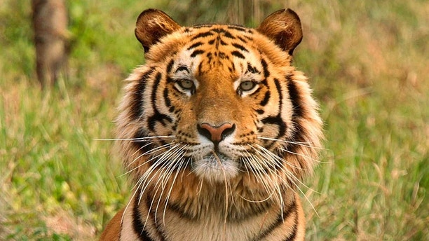 Woman fights off tiger with a stick after it attacks her goat