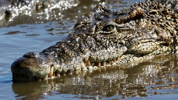 """A crocodile swims at a breeding center at """"La Boca"""" in the Zapata Swamp Biosphere Reserve Park south of the Matanzas province in central Cuba September 17, 2009. The wetlands of Cuba represent about 4 percent of the island?s territory and include habitats with unique and ideal vegetation for numerous animals such as manatis, crocodiles, fish and turtles, many resident and migratory birds.  REUTERS/Desmond Boylan (CUBA ENVIRONMENT SOCIETY) - RTR27ZA4"""