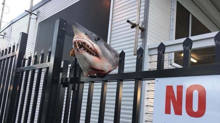 The severed head of a shark stuffed with cigarettes was discovered on the fence of a volunteer marine rescue organization.