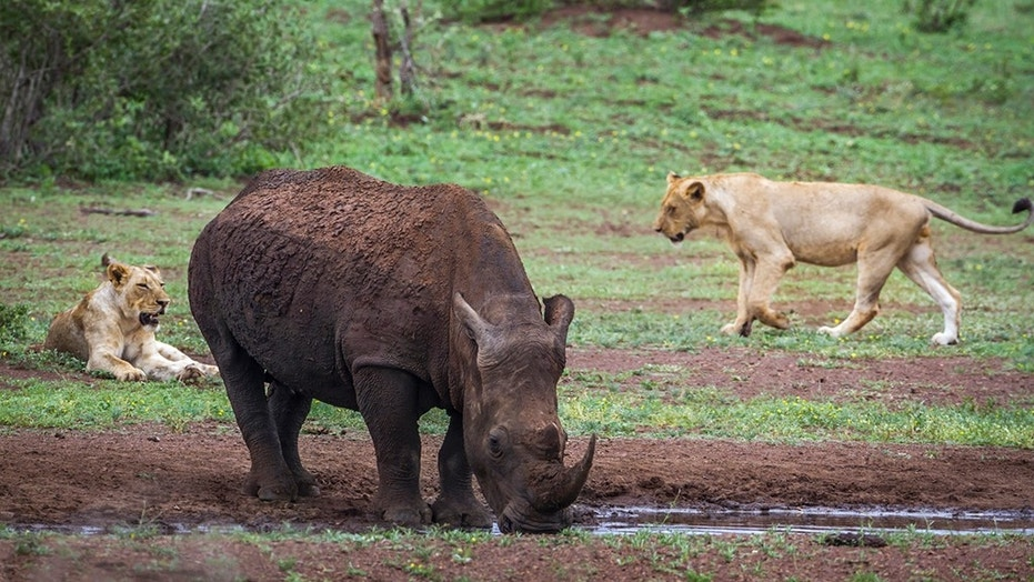 Lions eat suspected rhino poachers on game reserve