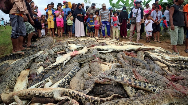 Local residents look at the carcasses of hundreds of crocodiles from a farm after they were killed by angry locals following the death of a man who was killed in a crocodile attack in Sorong regency West Papua Indonesia