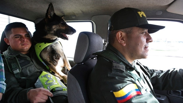 The drug dog Sombra rides with his guide, officer Jose Rojas, to the hold of El Dorado Airport in Bogota, Colombia on Thursday, July 26, 2018. After hearing that Sombras head had a prize, the Colombian ruled The National Police Director said that he would transfer her to a new post earlier this year, local news said. The Colombian police have recently announced that the Gulf Clan, a cartel that owns its own guerrilla army, has offered a $ 7,000 reward to anyone who kills or detains the clever dog. (AP Photo / Fernando Vergara)
