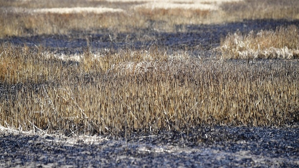 Burned wheat is pictured in a field near Magdeburg, eastern Germany on July 26, 2018. - Dozens of wildfires have hit countries across northern Europe and Greece as a heatwave continues to hold across much of the continent. (Photo by Tobias SCHWARZ / AFP)        (Photo credit should read TOBIAS SCHWARZ/AFP/Getty Images)