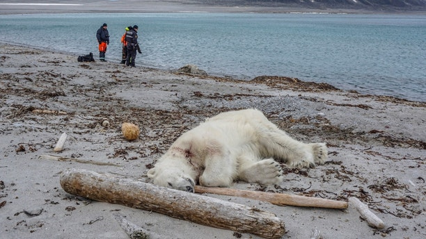 Authorities search the coastline, Saturday, July 28, 2018, after a polar bear attacked and injured a polar bear guard who was leading tourists off a cruise ship on the Svalbard archipelago archipelago between mainland Norway and the North Pole. The polar bear was shot dead by another employee, the cruise company said. (Gustav Busch Arntsen/Governor of Svalbard/NTB Scanpix via AP)